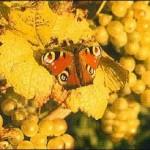 Schmetterling in unseren Bio-Weinbergen